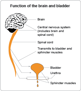 Function of the brain and bladder